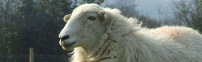 White_Welsh_Mountain_sheep
